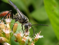 An orange-abdomen black wasp is pollinating the flowers. This bug is sucking the nectar.