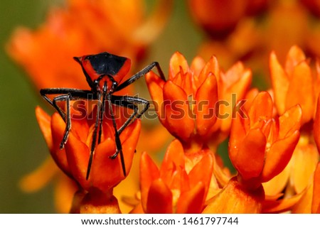 an orange and black bug on orange wild flowers #1461797744