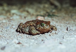 An orange and green Natterjack toad standing on a ground