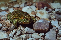 An orange and green Natterjack toad standing on rocks