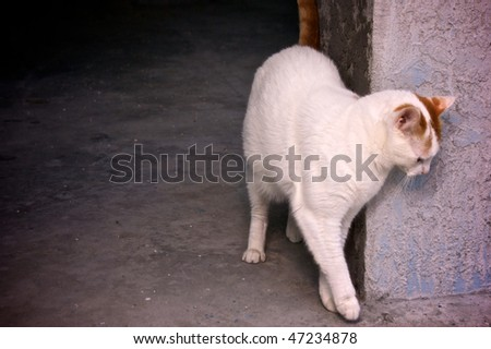 An orange and white turkish van cat is rubbing his body against a cement pillar in a doorway, with copy space.