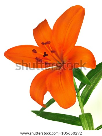 An orange Asiatic lily isolated on a white background.