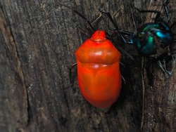 an orange beetle insect perched on a banana tree