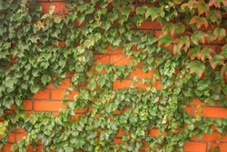 An orange brick wall is with many green leaves. Bushes of a green plant create a beautiful background. Fence wrapped in vine. Abstract natural background.