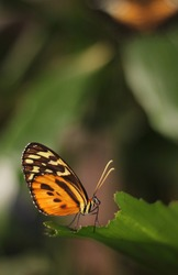 An orange brown and yellow butterfly with light antennae and big eye sitting on a fresh green leaf with his beautiful wings folded on his back. Other leaves and butterfly blurred in the background.