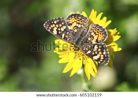 An orange butterfly on a yellow flower with a green background. #605102159