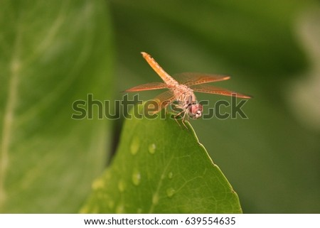An orange dragonfly on a green leaf with a droplet on a leaf. #639554635