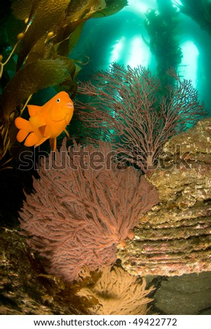 An orange Garibaldi fish swims over a reef with sea fans, kelp and blue water.