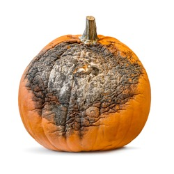 An orange halloween pumpkin becoming mouldy, rotting away affected by mildew, isolated on white.