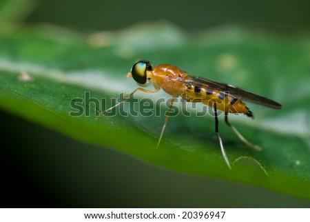 An orange soldier fly #20396947