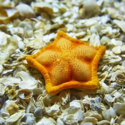 An orange starfish lying on shells in the Istanbul aquarium, Turkey
