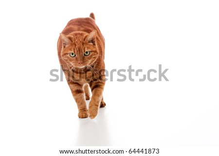 An orange tabby cat walking toward the camera on an isolated white background.