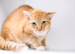 An orange tabby shorthair cat displaying tense body language, crouching and staring at the camera with dilated pupils and a grumpy expression