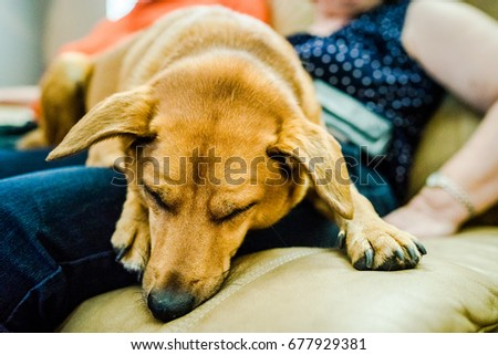 An orange terrier dog sleeps and dreams in the lap of a woman. #677929381