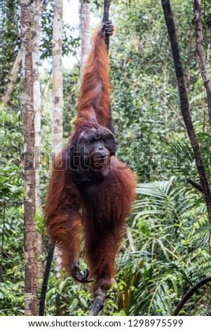 An orangutan hangs in an Indonesian Tree  #1298975599