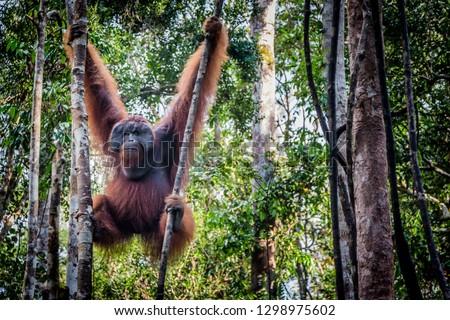 An orangutan hangs in an Indonesian Tree  #1298975602
