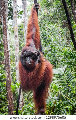 An orangutan hangs in an Indonesian Tree  #1298975605