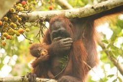 an orangutan is feeding her baby on the top of a tree
