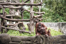 an orangutan sitting with his child
