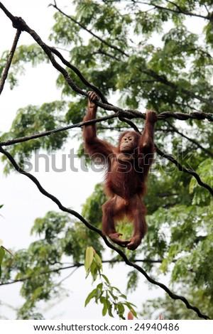 an orangutan swinging on the vines