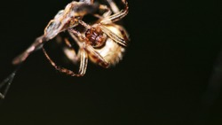 An Orb Weaver spider hanging on the web on a dark background
