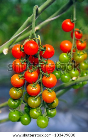 An orchard growing tree tomatoes