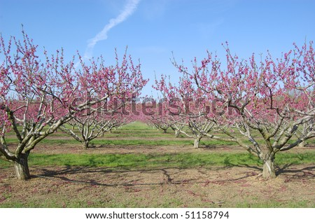An orchard of pink peach trees blooming in spring