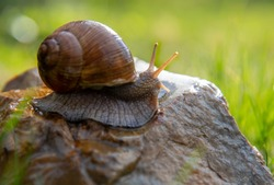 An ordinary garden snail on a stone on a blurred background, illuminated by the sun.