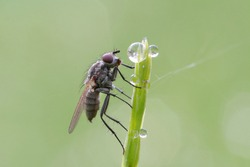 An ordinary little fly sits on a thin blade of grass covered with dew drops. In the morning it is cool and the fly are sedentary.