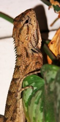 An Oriental Garden Lizard, also known as Eastern Garden Lizard or Changeable Lizard on the Scindapsus Pictus leaves. Scientific name : Calotes Versicolor