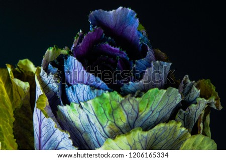 An ornamental cabbage or ornamental kale plant with green and purple leaves in close-up or set against a plain black or dark background. #1206165334