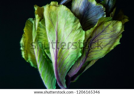 An ornamental cabbage or ornamental kale plant with green and purple leaves in close-up or set against a plain black or dark background. #1206165346