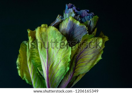 An ornamental cabbage or ornamental kale plant with green and purple leaves in close-up or set against a plain black or dark background. #1206165349