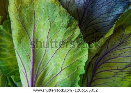 An ornamental cabbage or ornamental kale plant with green and purple leaves in close-up or set against a plain black or dark background. #1206165352