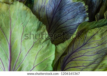 An ornamental cabbage or ornamental kale plant with green and purple leaves in close-up or set against a plain black or dark background. #1206165367