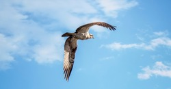 An Osprey Bird Pandion haliaetus in Flight Hunting with its Wings Spread Wide, the best photo.