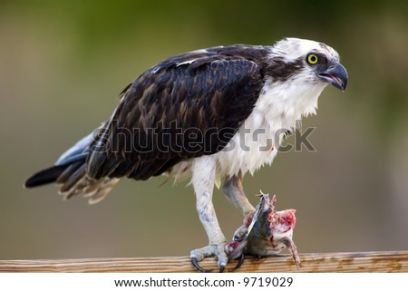 An Osprey clutching a fish with his left talons and eating the head of the fish