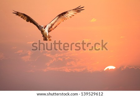 An Osprey Flying in the Early Morning Sunrise Sky