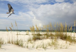 An Osprey Flying with His Catch on a Beautiful Florida Beach