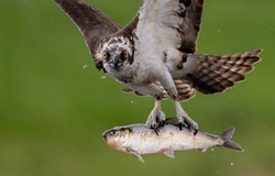 An osprey hunting for fish