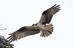 An Osprey landing in its nest.