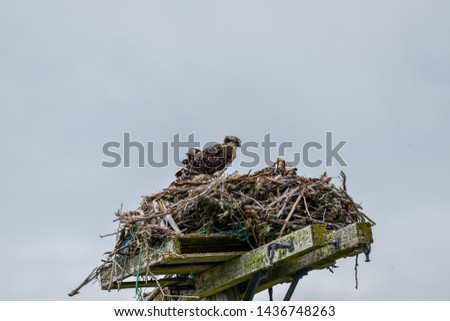 An osprey lands on a large nest built of branches and tree twigs on top of a utility pole. The animal is next to a female osprey, hardly visible, sitting on eggs. The animal's feathers are ruffled.