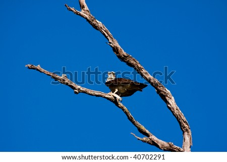 An Osprey (Pandion haliaetus) with fish in claws perching in a tree in front of a beautiful blue sky