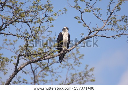 An osprey perches in tree on Sandy Hook, New Jersey.