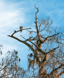 An Osprey sits on a tree branch overlooking a Louisiana swamp