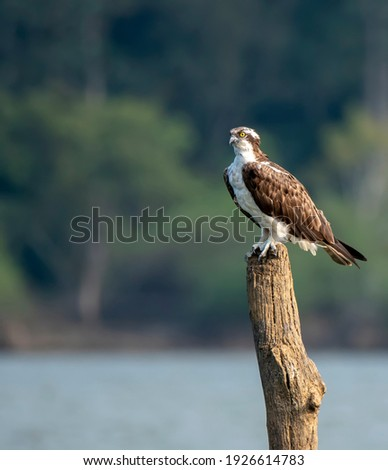 An Osprey sitting on a tree trunk submerged in Kapila river in the backwaters of Kabini dam during a wildlife safari inside Nagarhole tiger reserve Zdjęcia stock ©