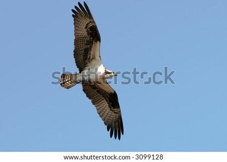 An osprey taking dinner back to the nest.