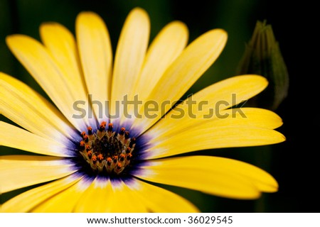 An osteospermum isolated against a green grass background