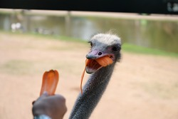 An ostrich held its mouth in and picked up a carrot from the tourist's hand in the car seat. A full-mouth carrot makes it look funny. Scientific name: Struthio camelus.It is classified as a vertebrate