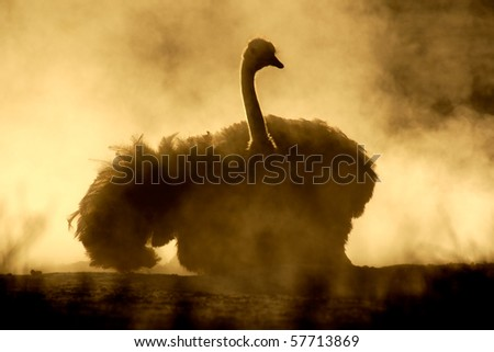 An ostrich (Struthio camelus) taking a dust bath, Kalahari, South Africa